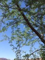 Screwbean Tree Prosopis pubescens