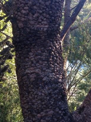 Banksia bark