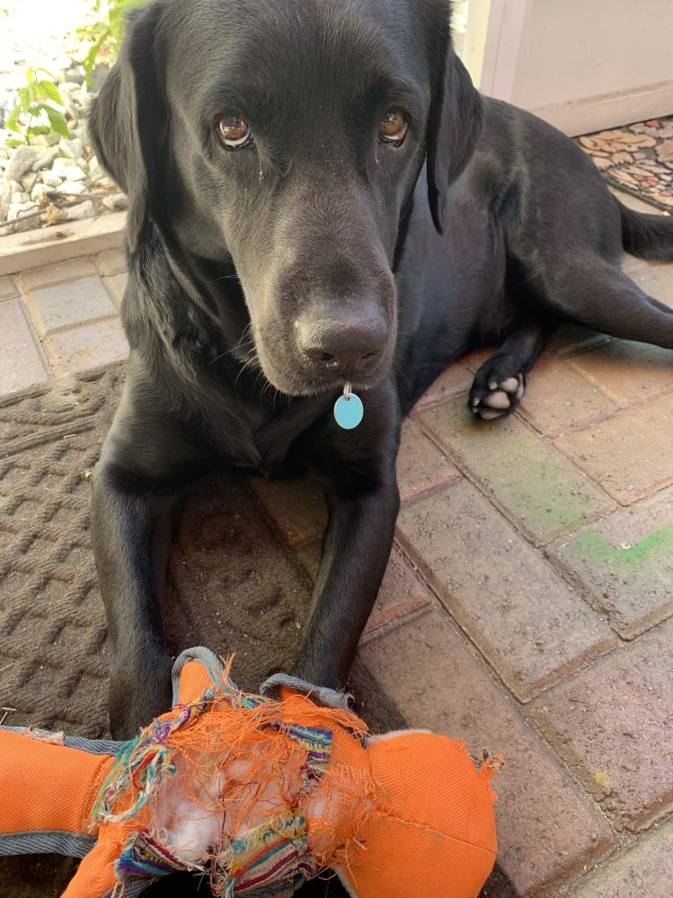 Our rescue Lab Kumba and his chew toy