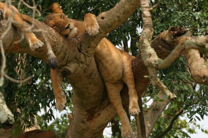 6-Day Gorilla Tour with Ishasha Tree Climbing Lion