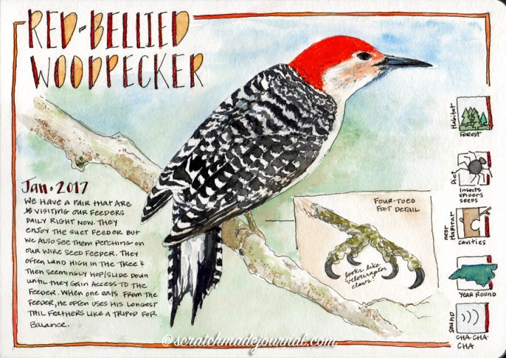 Red-bellied woodpecker watercolor sketch ©scratchmadejournal