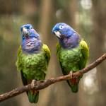 Do pionus parrots make good pets?