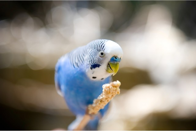 How do you know if your parakeet likes you