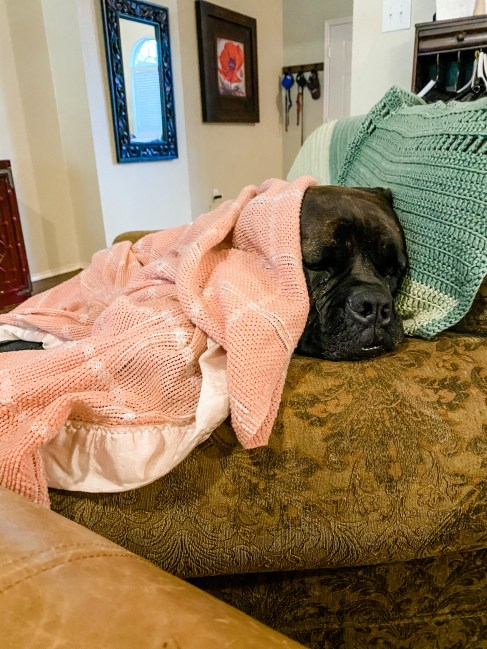 Bullmastiff tucked under pink blanket