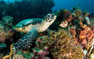 Eco dive master internship - underwaterworld raja ampat sea turtle