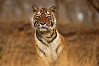 Machli, the world's most famous tigress