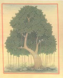 Banyan Tree b003