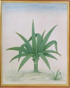 Baby Banana Plant b012