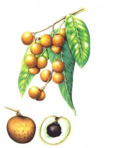 English Botanical Fruits f004