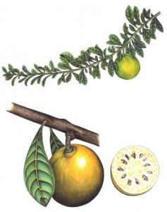 English Botanical Fruits f005