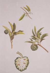 English Botanical Fruits f012