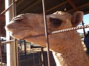 cameleyes