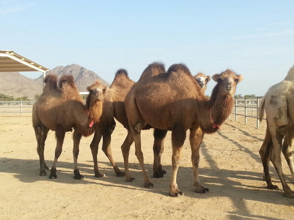baby camel two humps