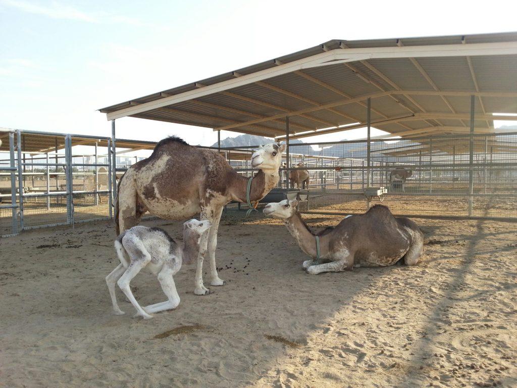 camel special