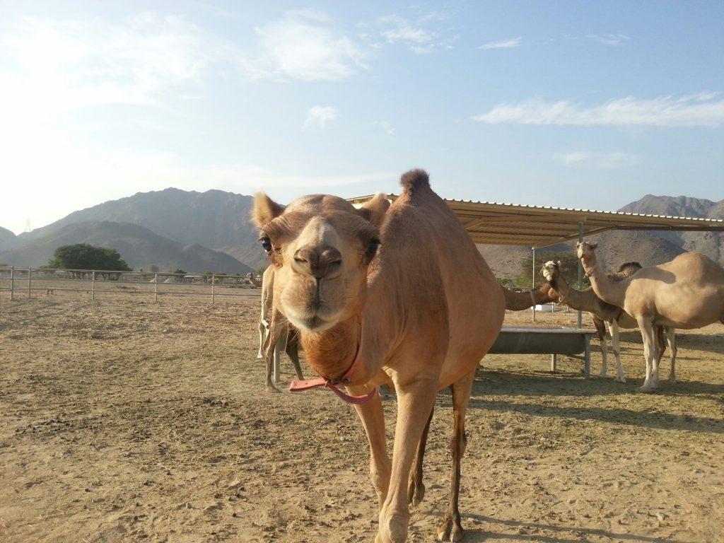 camel uae baby