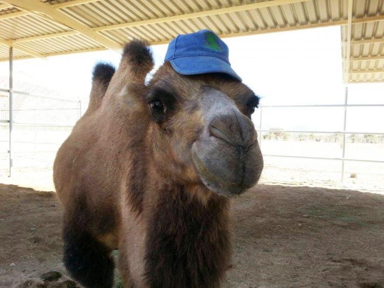 vactrian camel