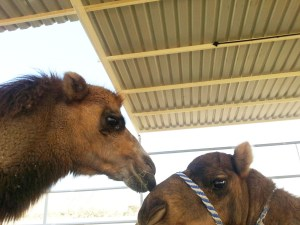 vactrian and camel