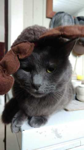 grey cat in christmas antlers