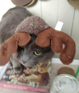 grey cat in christmas reindeer antlers