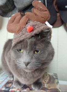 grey cat in antlers
