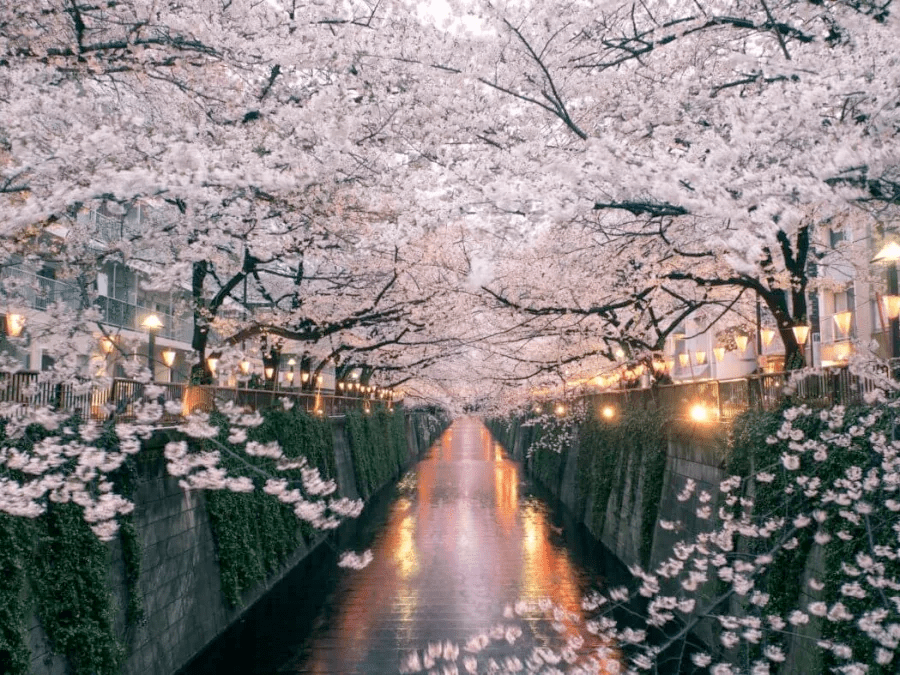 Learn about Japan's hanami culture beneath the blossoms.