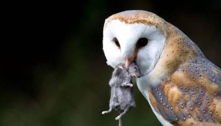 Suara Burung Hantu Jenis Fungsi Dan Cara Merawatnya Rakyatnesia Com
