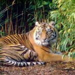 Harimau Sumatera (Panthera tigris Sumatrae) Foto: WWF Indonesia