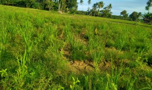 Sawah kekeringan di Desa Bottot, Kecamatan Sorkam, Kabupaten Tapanuli Tengah. Foto: Rakyatsumut.com/ Afip