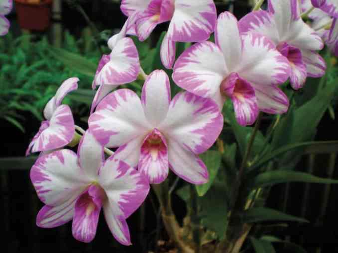 dendrobium-orchid-enobi-stripe-%22frasers-stunner%22-ad_aoc
