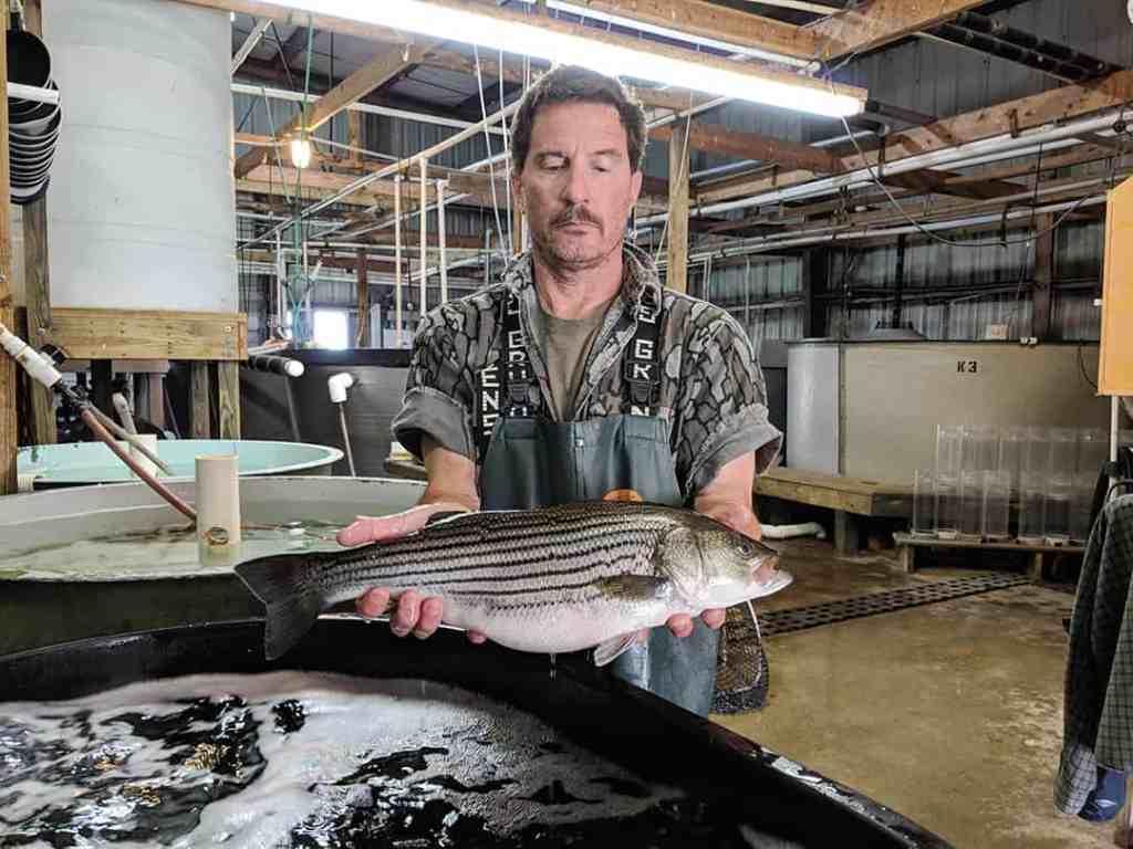 Hatchery Manager Robert Clark with a farmed striped bass.