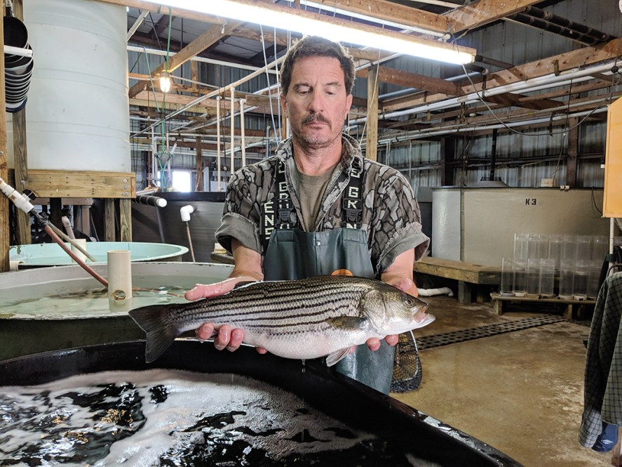 Hatchery Manager Robert Clark with a farmed striped bass.