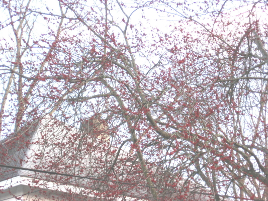 winter-maple-buds_1_1