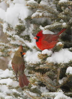 Christmas Card With Cardinals - Mircea Costina