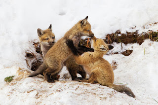 Fox Pups in Winter- Mircea Costina