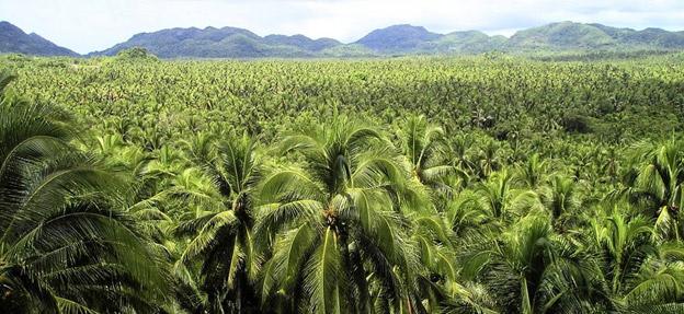 Plantatie de arbori de cocos