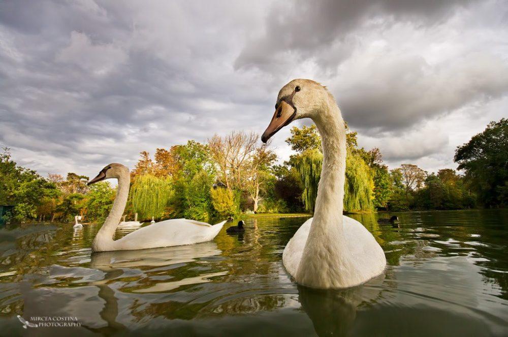 Autumn Swans- Mircea Costina
