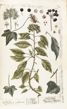 English ivy, from 'Herbarium Blackwellianum emendatum et auctum...', by Elizabeth Blackwell