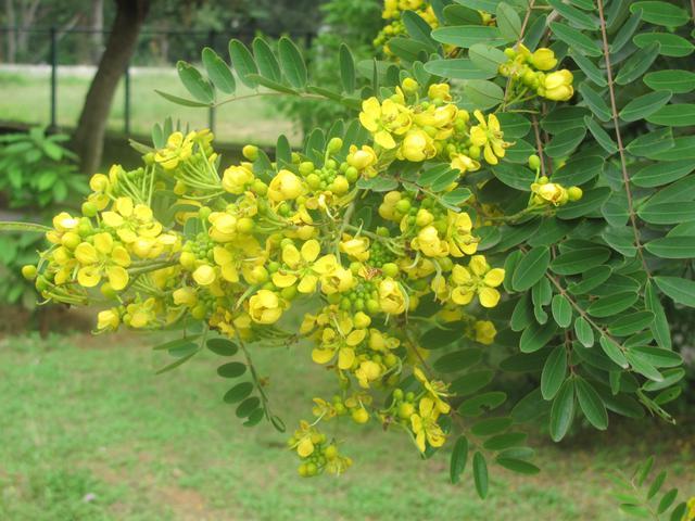 Tangedu leaf with dates in ayurvedic treatments - TNILIVE health news in telugu