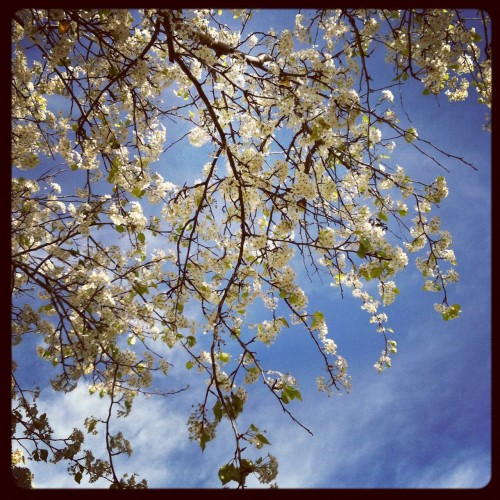 White blossoms on a tree against the sky