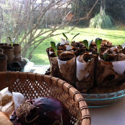 Seedlings in Toilet Paper Tubes