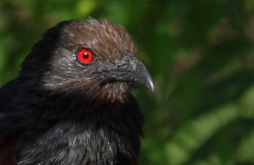 _MG_0264-coucal-red-eye-shot