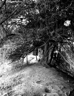 Yew Tree on Ramparts