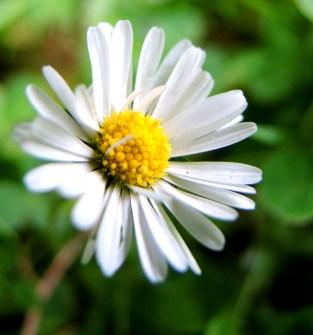 photo of a daisy