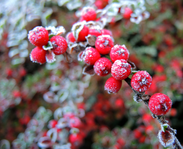 cotoneaster-1