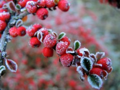 cotoneaster-2