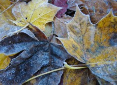 frosty-leaves-1