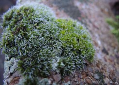 frosty-moss