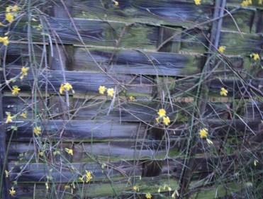 jasmine-fence