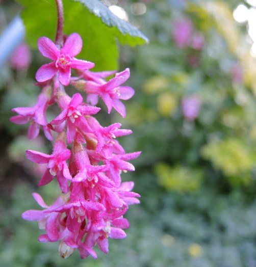 frosty-flowering-currant