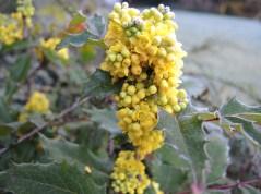 frosty-mahonia